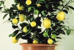 Как вырастить лимон дома. Уход за лимонным деревом.